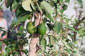 An Avocado Tree