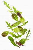 picture of photosynthesis  - Green lettuce salad leafs isolated on  white - JPG