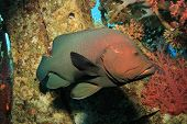 Redmouth Grouper fish underwater