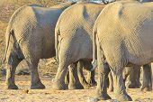 pic of rear-end  - The rear ends of three African Elephant cows as they visit a watering hole in the wilds of Africa - JPG