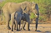 Elephant, African - Wildlife Background from Africa - Suckle and Security and Safety of Mother