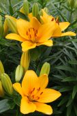foto of asiatic lily  - Asiatic Lilies in petals of golden yellow colors - JPG