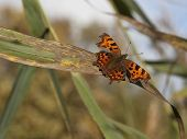 Comma Butterfly On Reed