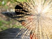 Crowned Crane (head, Top View)
