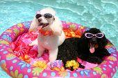 Poolin' Poodles