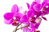 Macro Photo Of Small Pink Orchid Flowers Isolated On White