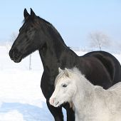Grey Pony With Black Friesian Horse
