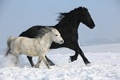 Black Horse And White Pony Running Together
