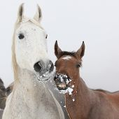 foto of mare foal  - Mare with foal looking at you in winter - JPG