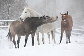Batch Of Horses In Winter