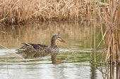 Mallard in the reeds