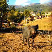 Pig In The Slums