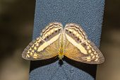 The Little Banded Yeoman Butterfly