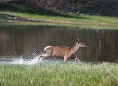 Hind In Shallow Water