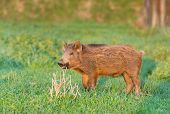 image of boar  - Little wild boar standing on grass land in wilderness - JPG