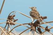 Crested Lark Perched On Dried Grasses With Seeds