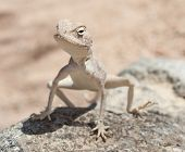 Egyptian Desert Agama Lizard On A Rock