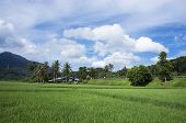 picture of langkawi  - Panorama view of paddy field in Langkawi Malaysia - JPG