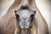 Camel Looking At Camera