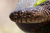 Northern Water Snake (nerodia Sipedon)