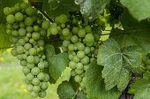 Wine Grapes at Vine