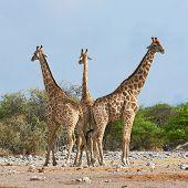 Three Giraffes In The Etosha National Park