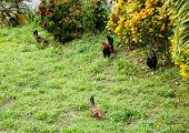 Three Chickens And Rooster
