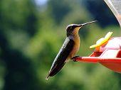 Female Hummingbird At Feeder