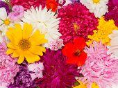 foto of nasturtium  - carpet of many different beautiful colorful flowers asters kosmeya nasturtium carnation marigold - JPG