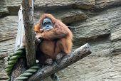 Sumatran Orangutan (pongo Pygmaeus Abelii)