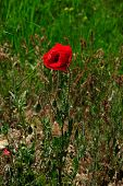 Red Poppy Flower On A Glade