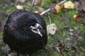 Closeup of a baby blackbird