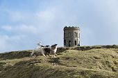 Springer Spaniels Playing At Solomons Temple