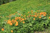 picture of chatterbox  - Blooming Flower Lights at another title Trollius - JPG
