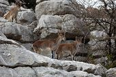 Mountain Goats At El Torcal National Park