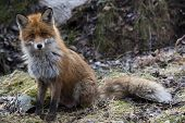 picture of begging  - a european red fox begging for a treat - JPG