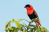 A Male Northern Red Bishop (euplectes Franciscanus) In Full Breeding Plumage