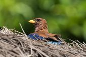 pic of sun perch  - Broad Billed Roller  - JPG
