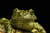stock photo of red eye tree frog  - Mossy Frog  - JPG