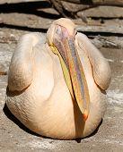 Great Pelican (pelecanus Onocrotalus) Close
