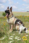 Jack Russell Terrier With German Shepherd Dog Sitting In Flowering Field