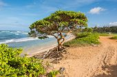 The tree on the beach, Kauai