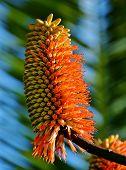 Aloe Blossom