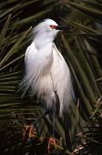 pic of f4  - Snowy Egrets nest in trees during the spring - JPG