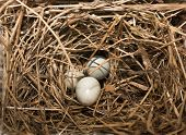 stock photo of songbird  - Songbird nest on tree branch with three eggs inside
