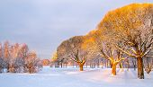 Panoramic View Of The Brittle Willows In A Winter Park