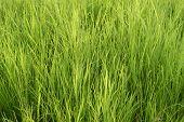 Lush Green Grass