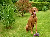 picture of vizsla  - hungarian vizsla likes to play in the garden - JPG