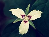 picture of trillium  - A close up view of a single Painted Trillium flower - JPG