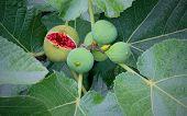 Branch figs.